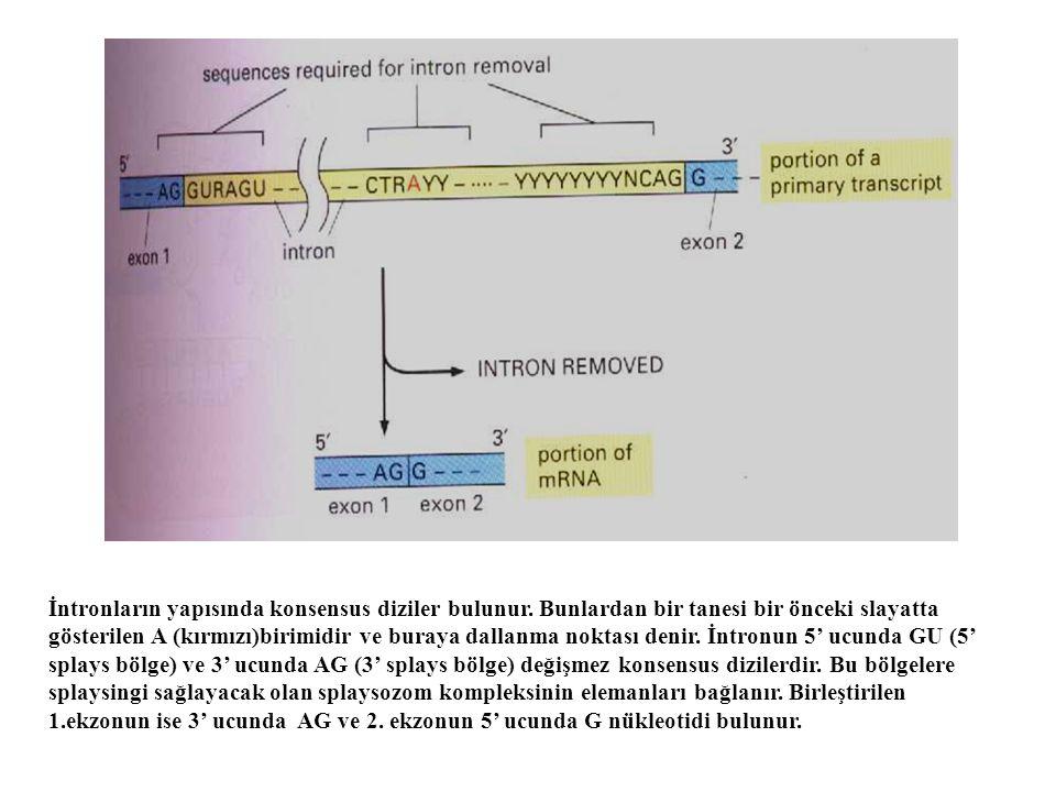 İntronların yapısında konsensus diziler bulunur. Bunlardan bir tanesi bir önceki slayatta gösterilen A (kırmızı)birimidir ve buraya dallanma noktası d