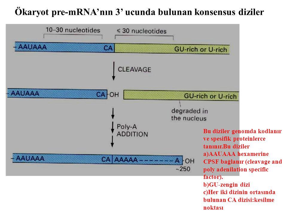 Ökaryot pre-mRNA'nın 3' ucunda bulunan konsensus diziler Bu diziler genomda kodlanır ve spesifik proteinlerce tanınır.Bu diziler a)AAUAAA hexamerine C