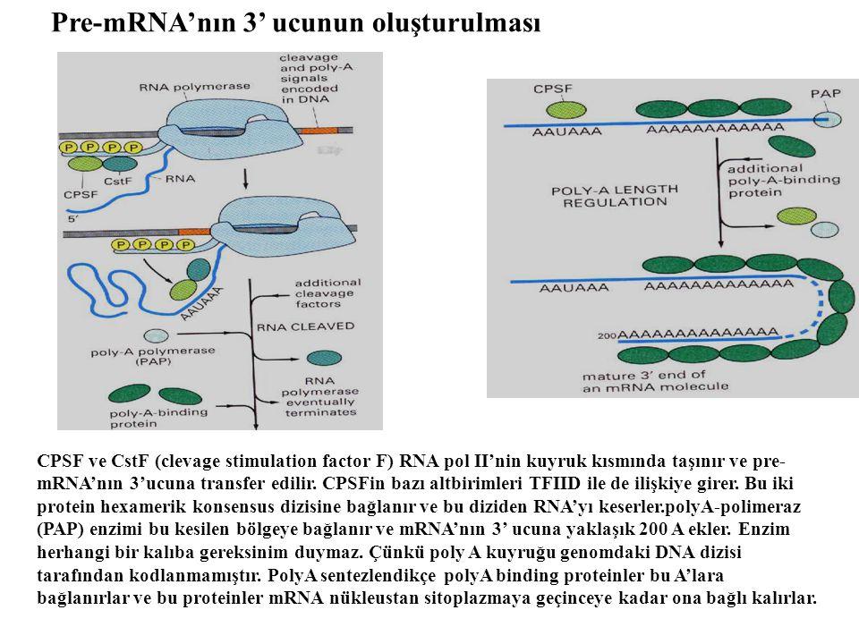 Pre-mRNA'nın 3' ucunun oluşturulması CPSF ve CstF (clevage stimulation factor F) RNA pol II'nin kuyruk kısmında taşınır ve pre- mRNA'nın 3'ucuna trans
