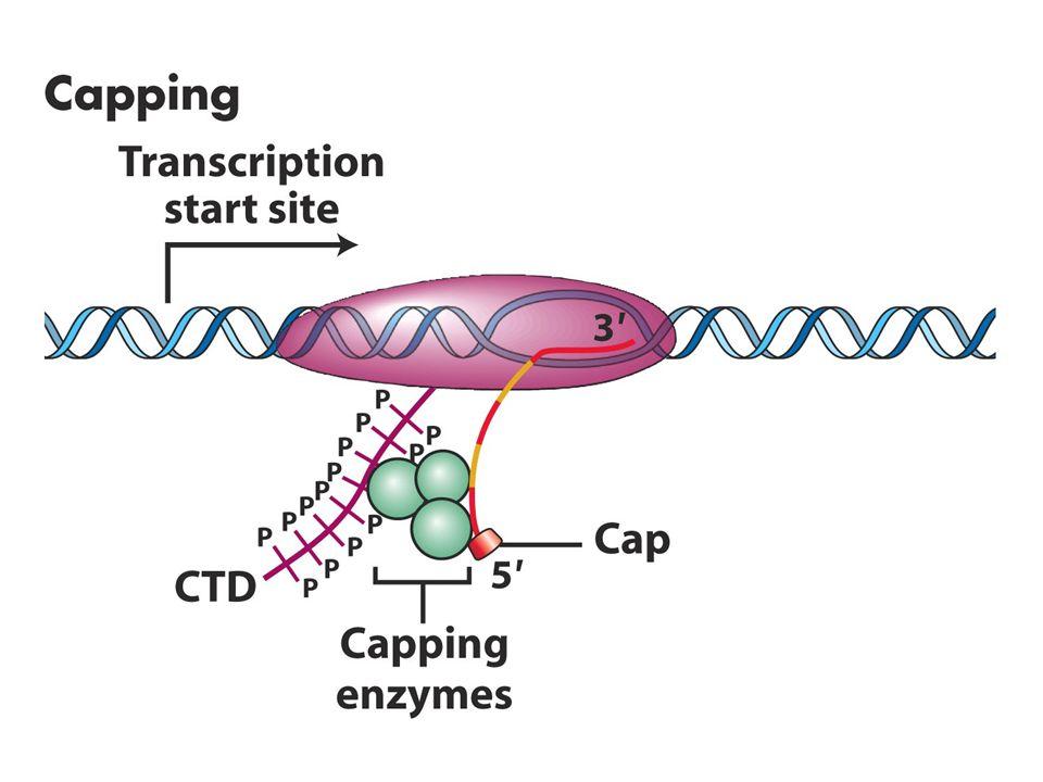 Prokaryot ve Ökaryot mRNA Yapısı Prokaryot mRNA'nın 5've 3' uçları değişime uğramaz.