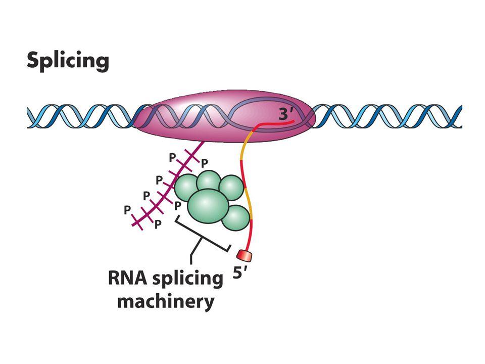 RNA Fabrikası Ökaryot RNA pol II sadece DNA'yı RNA'ya transkribe etmez aynı zamanda 3'kuyruk kısmında pre-mRNA'nın olgunlaşması için gerekli proteinleride taşır Olgunlaşma (processing) sürecinde tüm proteinler enzimin kuyruk kısmında taşınmaz örneğin intronları uzaklaştıran splisozom kompleksinin bileşenlerinin sadece kritik öneme sahip olanları burada taşınır.