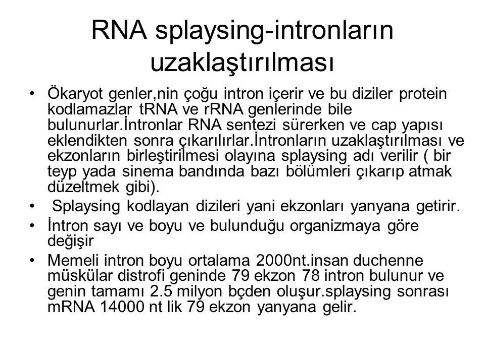RNA splaysing-intronların uzaklaştırılması Ökaryot genler,nin çoğu intron içerir ve bu diziler protein kodlamazlar tRNA ve rRNA genlerinde bile bulunu