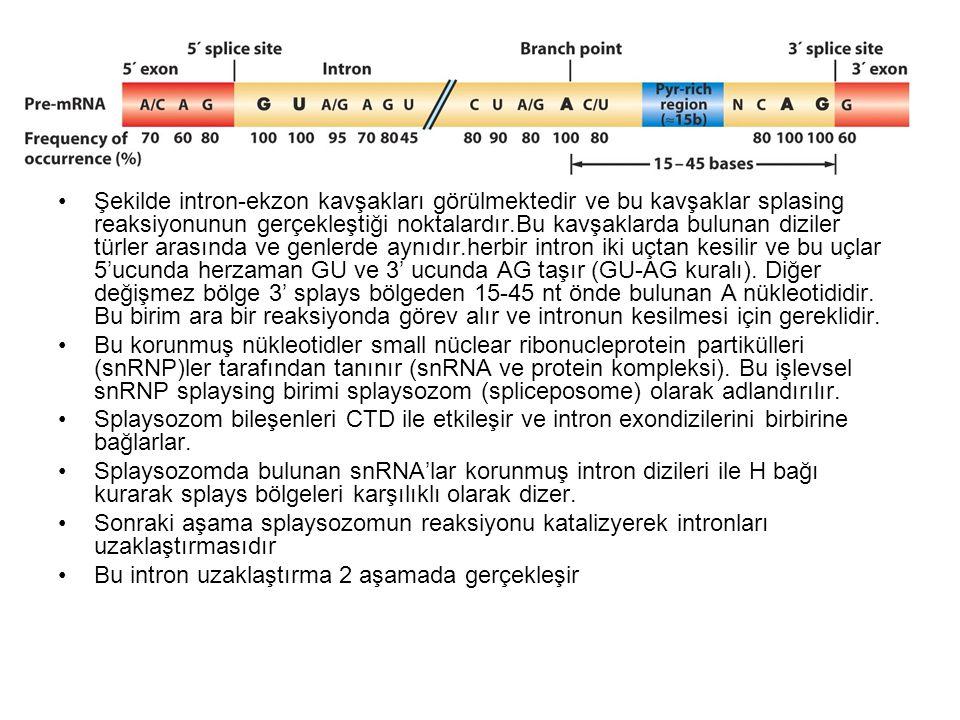 RNA Splaysing Mekanizması RNA splaysingi snRNP (small nuclear ribonucleoproteinlerin ve diğer bazı proteinlerin (şekilde gösterilmemekte) tarafından katalizlenen reaksiyonlarla olur.