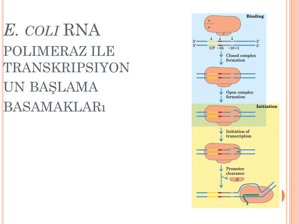 E. COLI RNA POLIMERAZ ILE TRANSKRIPSIYON UN BAŞLAMA BASAMAKLARı