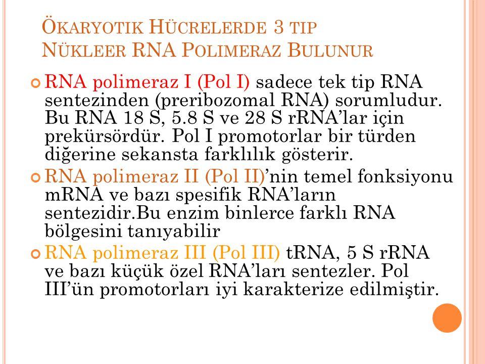 Ö KARYOTIK H ÜCRELERDE 3 TIP N ÜKLEER RNA P OLIMERAZ B ULUNUR RNA polimeraz I (Pol I) sadece tek tip RNA sentezinden (preribozomal RNA) sorumludur. Bu