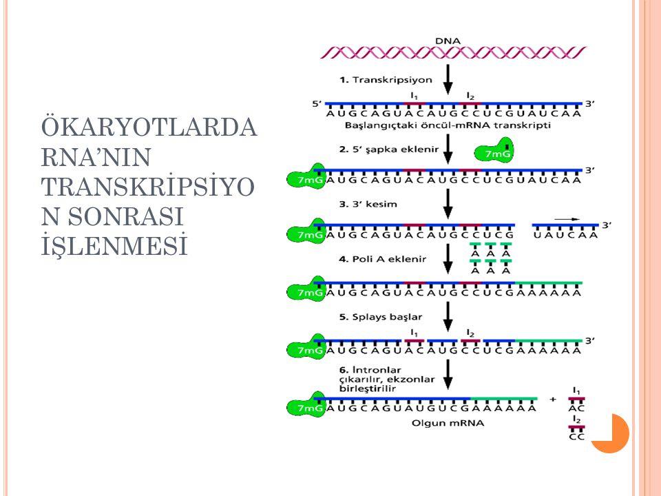 ÖKARYOTLARDA RNA'NIN TRANSKRİPSİYO N SONRASI İŞLENMESİ