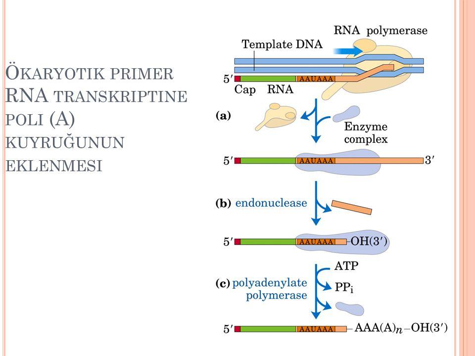 Ö KARYOTIK PRIMER RNA TRANSKRIPTINE POLI (A) KUYRUĞUNUN EKLENMESI