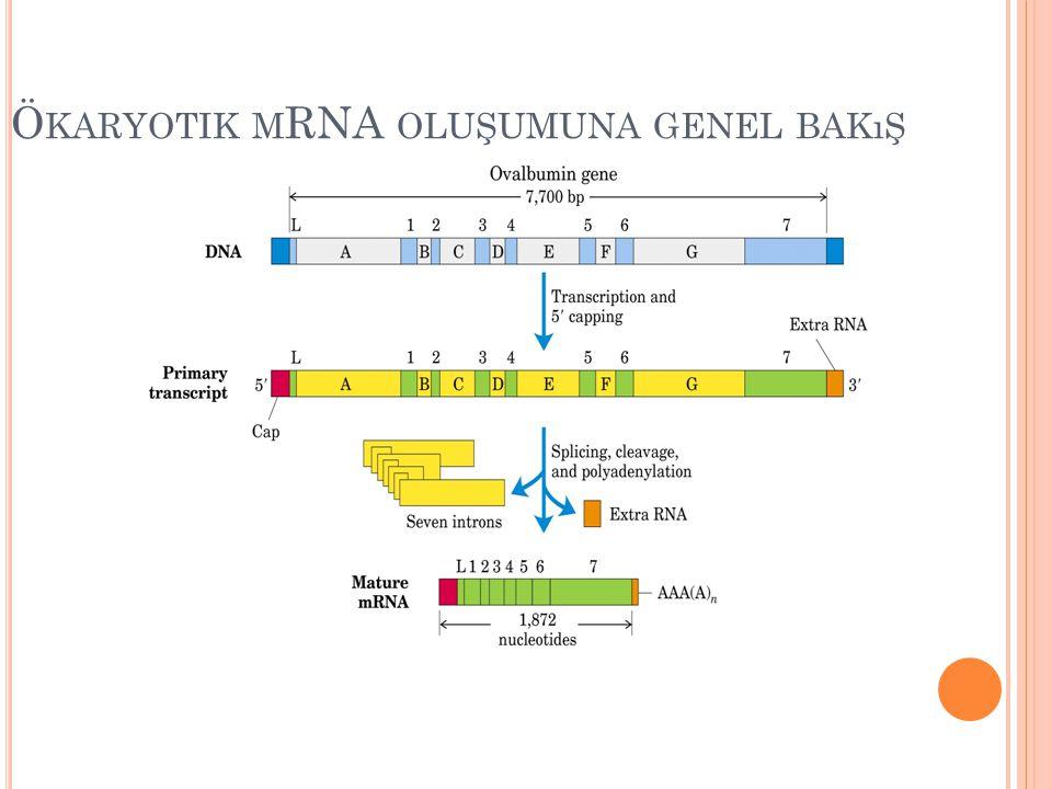 Ö KARYOTIK M RNA OLUŞUMUNA GENEL BAKıŞ