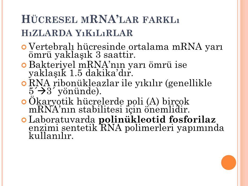 H ÜCRESEL M RNA' LAR FARKLı HıZLARDA YıKıLıRLAR Vertebralı hücresinde ortalama mRNA yarı ömrü yaklaşık 3 saattir. Bakteriyel mRNA'nın yarı ömrü ise ya