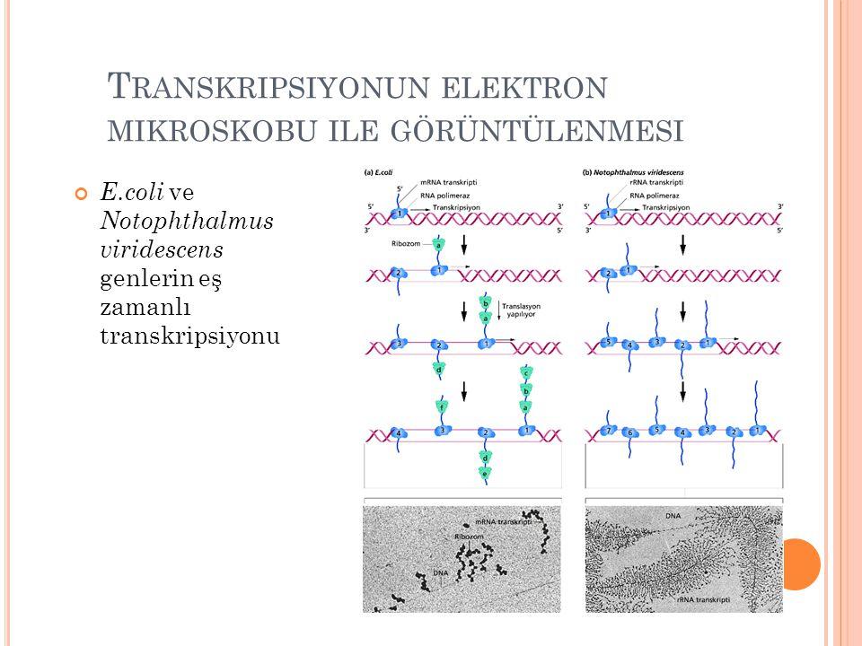 T RANSKRIPSIYONUN ELEKTRON MIKROSKOBU ILE GÖRÜNTÜLENMESI E.coli ve Notophthalmus viridescens genlerin eş zamanlı transkripsiyonu