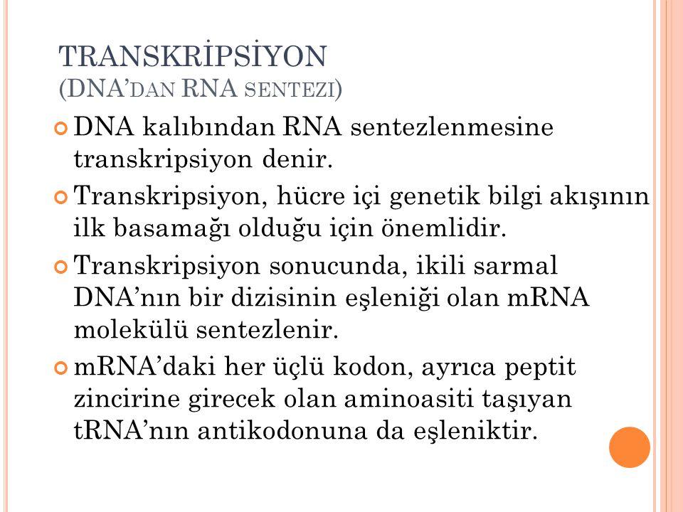 TRANSKRİPSİYON (DNA' DAN RNA SENTEZI ) DNA kalıbından RNA sentezlenmesine transkripsiyon denir. Transkripsiyon, hücre içi genetik bilgi akışının ilk b