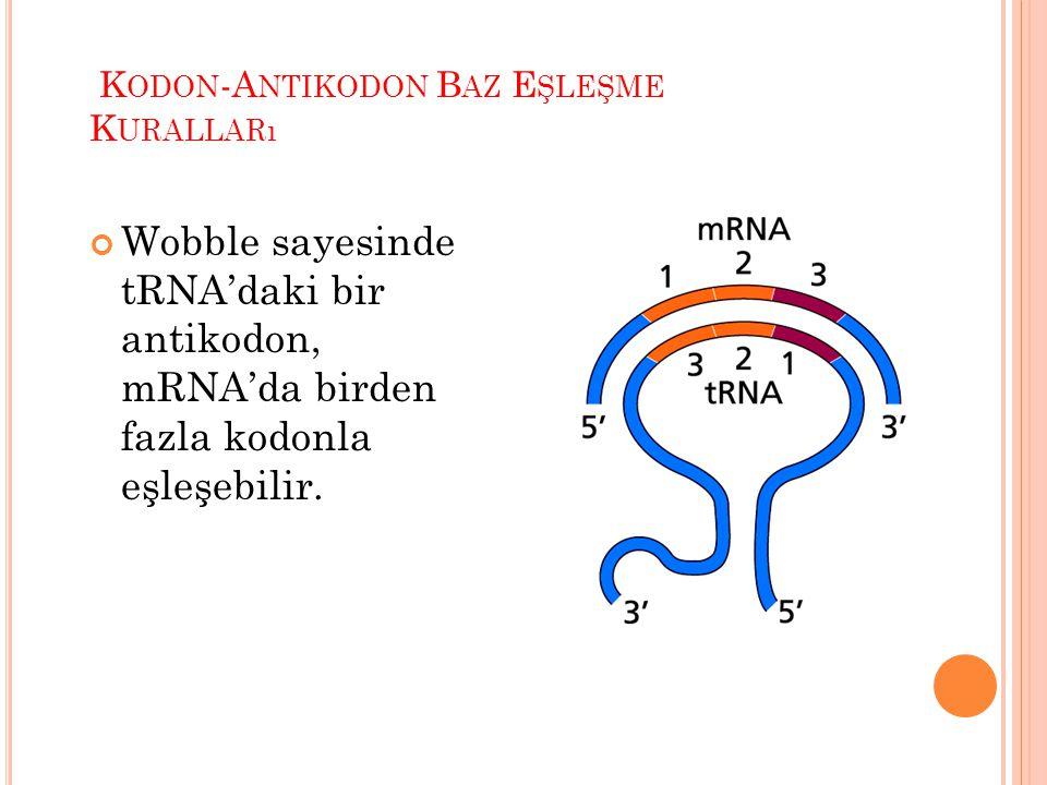 . K ODON -A NTIKODON B AZ E ŞLEŞME K URALLARı Wobble sayesinde tRNA'daki bir antikodon, mRNA'da birden fazla kodonla eşleşebilir.