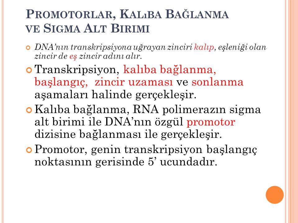 P ROMOTORLAR, K ALıBA B AĞLANMA VE S IGMA A LT B IRIMI DNA'nın transkripsiyona uğrayan zinciri kalıp, eşleniği olan zincir de eş zincir adını alır. Tr