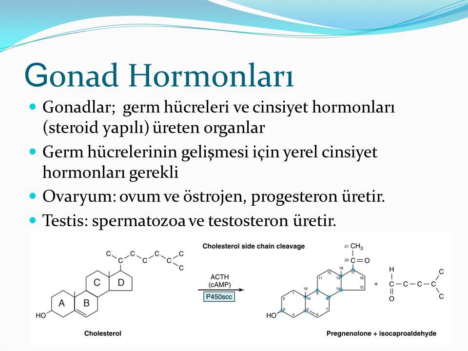 G onad Hormonları Gonadlar; germ hücreleri ve cinsiyet hormonları (steroid yapılı) üreten organlar Germ hücrelerinin gelişmesi için yerel cinsiyet hor