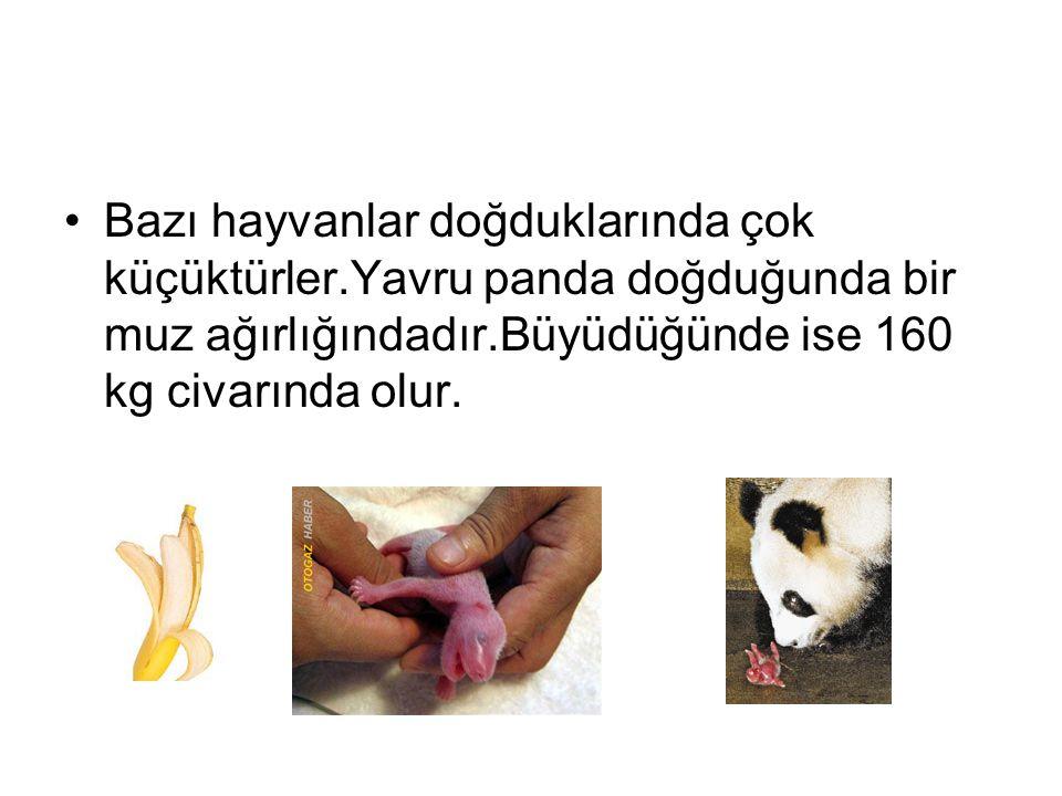 Bazı hayvanlar doğduklarında çok küçüktürler.Yavru panda doğduğunda bir muz ağırlığındadır.Büyüdüğünde ise 160 kg civarında olur.