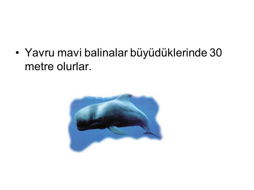 Yavru mavi balinalar büyüdüklerinde 30 metre olurlar.