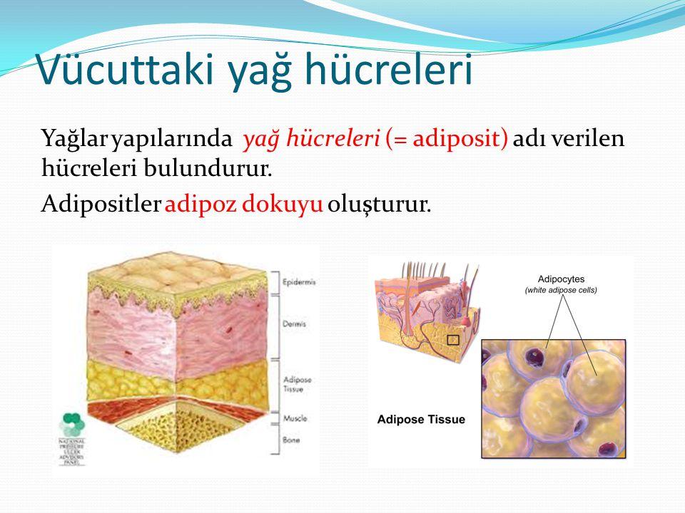 Vücuttaki yağ hücreleri Yağlar yapılarında yağ hücreleri (= adiposit) adı verilen hücreleri bulundurur. Adipositler adipoz dokuyu oluşturur.