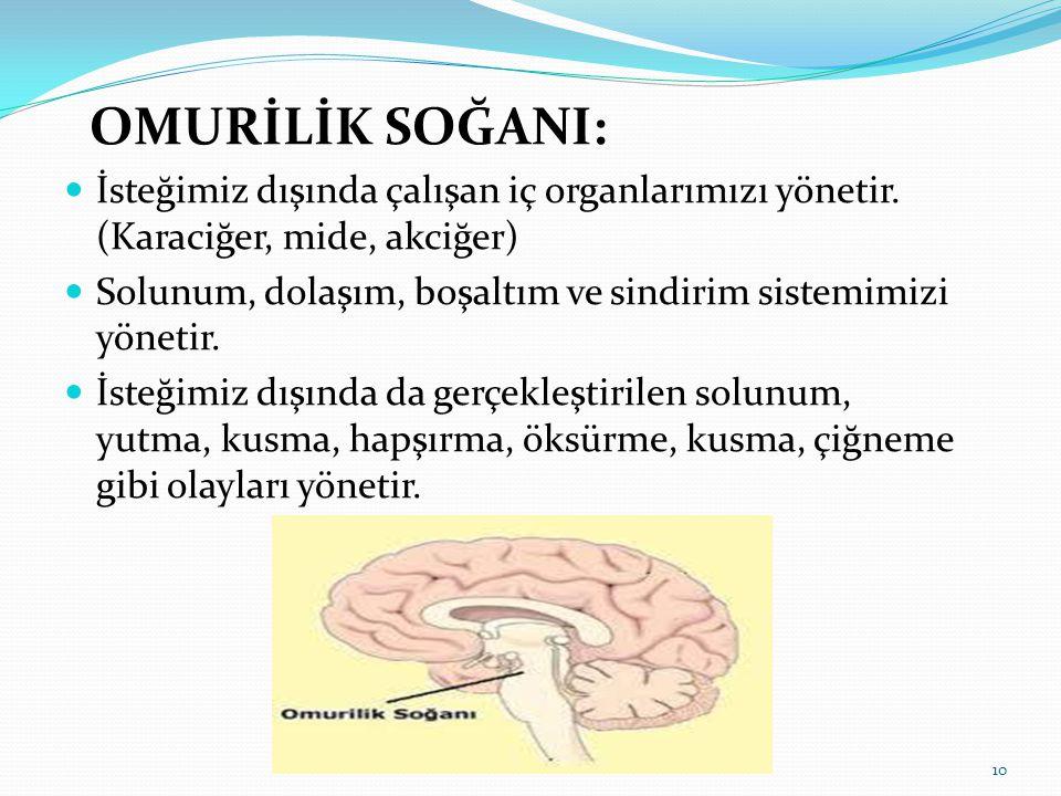 OMURİLİK SOĞANI: İsteğimiz dışında çalışan iç organlarımızı yönetir. (Karaciğer, mide, akciğer) Solunum, dolaşım, boşaltım ve sindirim sistemimizi yön
