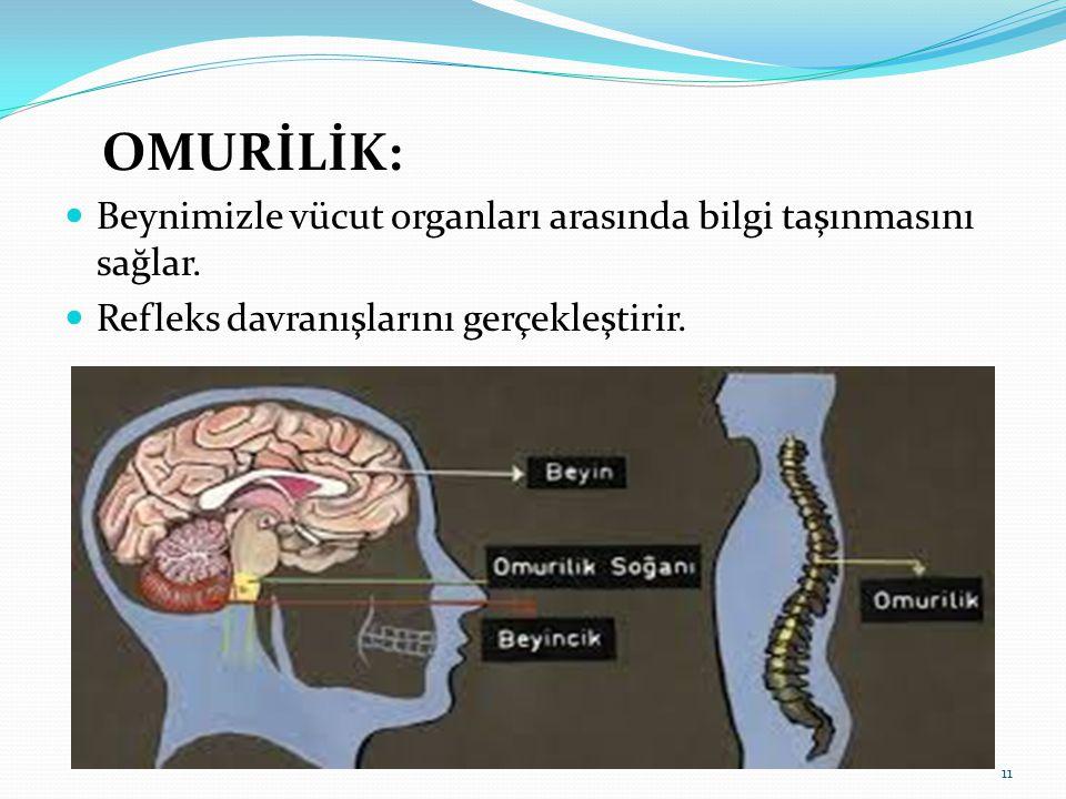 OMURİLİK: Beynimizle vücut organları arasında bilgi taşınmasını sağlar. Refleks davranışlarını gerçekleştirir. 11