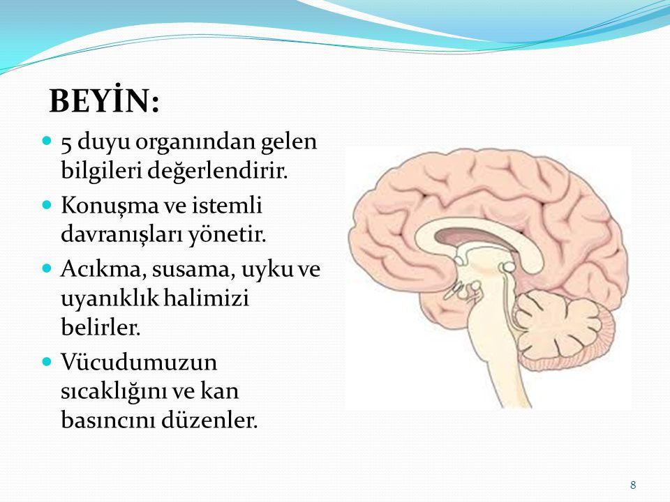 BEYİN: 5 duyu organından gelen bilgileri değerlendirir. Konuşma ve istemli davranışları yönetir. Acıkma, susama, uyku ve uyanıklık halimizi belirler.