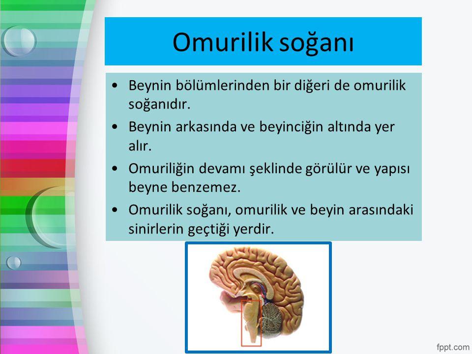 Omurilik soğanı Beynin bölümlerinden bir diğeri de omurilik soğanıdır. Beynin arkasında ve beyinciğin altında yer alır. Omuriliğin devamı şeklinde gör