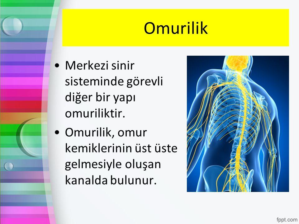 Omurilik Merkezi sinir sisteminde görevli diğer bir yapı omuriliktir. Omurilik, omur kemiklerinin üst üste gelmesiyle oluşan kanalda bulunur.