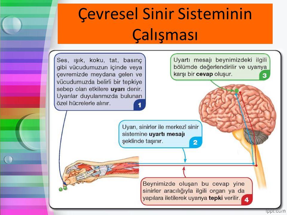 Çevresel Sinir Sisteminin Çalışması