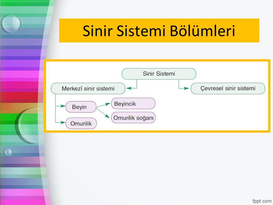 Sinir Sistemi Bölümleri