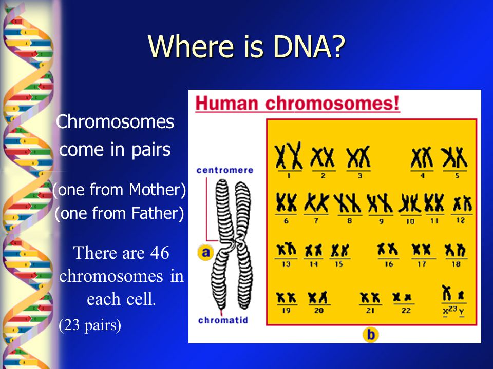 Where is DNA? (one from Mother) (one from Father) Chromosomes come in pairs There are 46 chromosomes in each cell. (23 pairs)