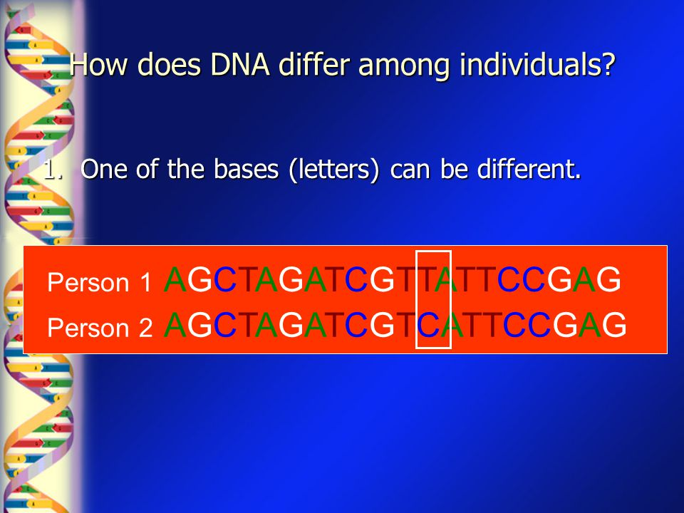 How does DNA differ among individuals? 1. One of the bases (letters) can be different. Person 2 AGCTAGATCGTCATTCCGAG Person 1 AGCTAGATCGTTATTCCGAG
