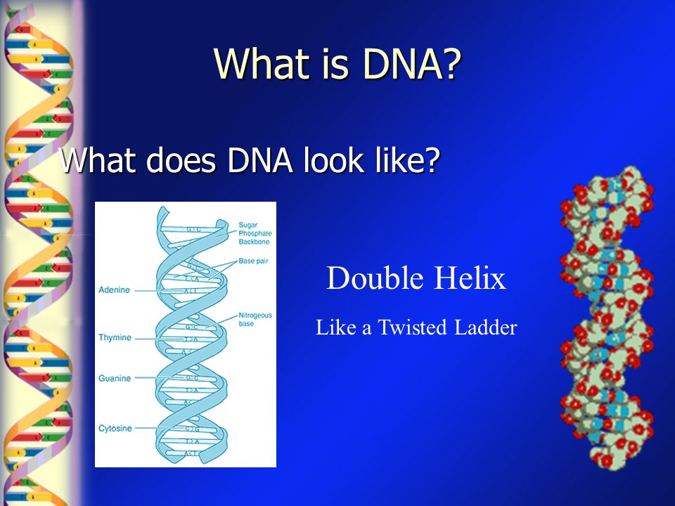 Where is DNA? DNA in the nucleus is packaged into Chromosomes