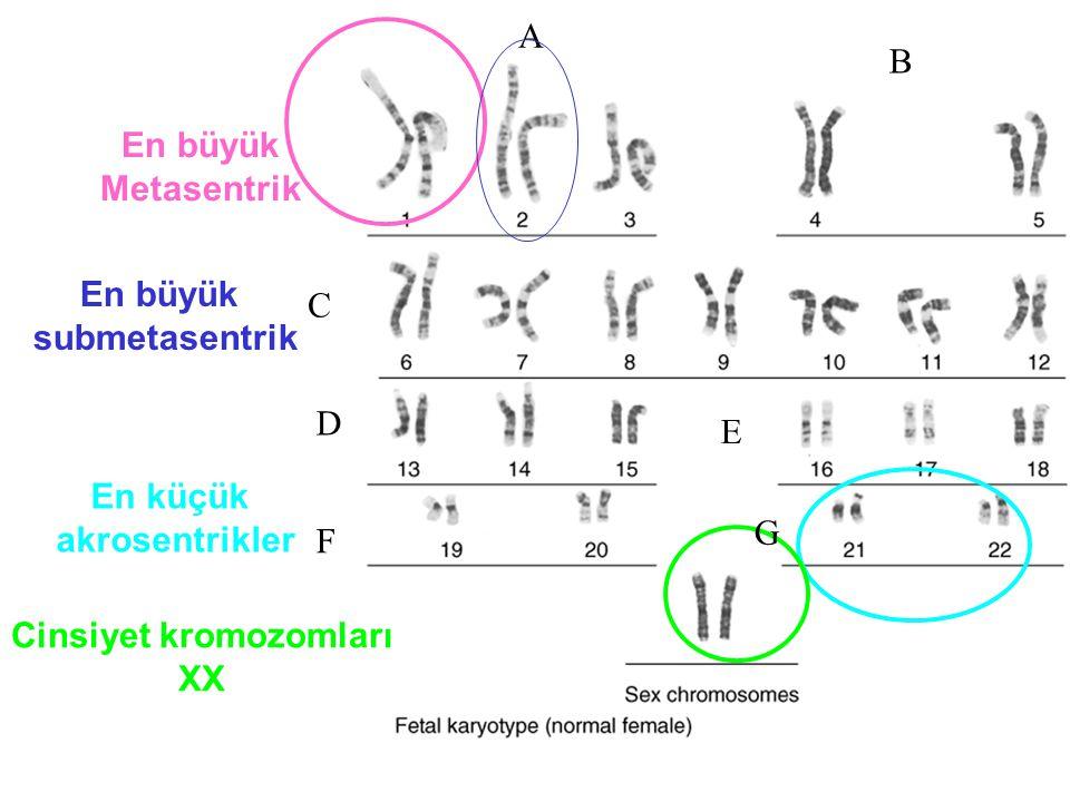 En büyük Metasentrik En küçük akrosentrikler Cinsiyet kromozomları XX A B C D E F G En büyük submetasentrik