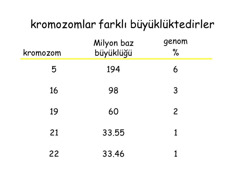 kromozomlar farklı büyüklüktedirler kromozom Milyon baz büyüklüğü genom % 51946 16983 19602 2133.551 2233.461