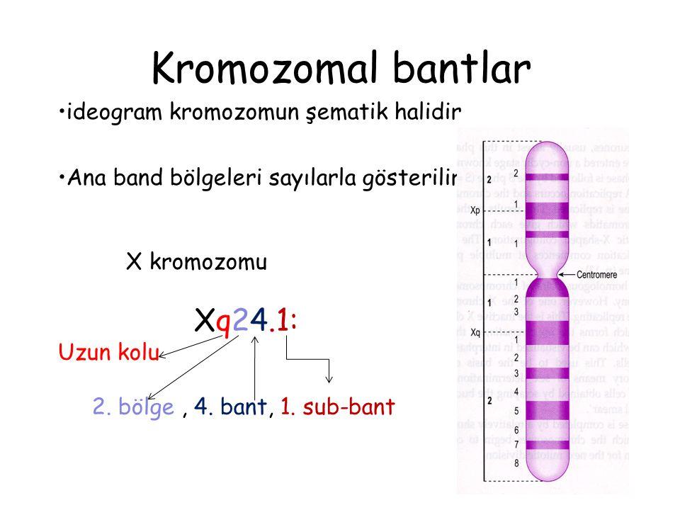 Kromozomal bantlar ideogram kromozomun şematik halidir Ana band bölgeleri sayılarla gösterilir X kromozomu Xq24.1: Uzun kolu 2. bölge, 4. bant, 1. sub