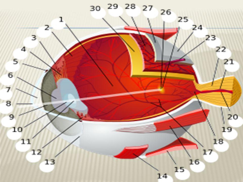  a: Görme siniri  b: Kör nokta  c: Sert tabaka(Gözakı)  d: Damar tabaka  e: Ağ tabaka(Retina)  f: Kirpiksi cisim  g: Arka oda  h: İrisİris  i