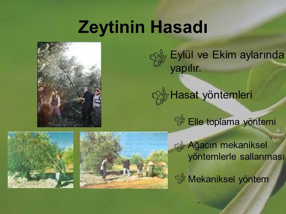 Zeytinin Hasadı Eylül ve Ekim aylarında yapılır. Hasat yöntemleri Elle toplama yöntemi Ağacın mekaniksel yöntemlerle sallanması Mekaniksel yöntem