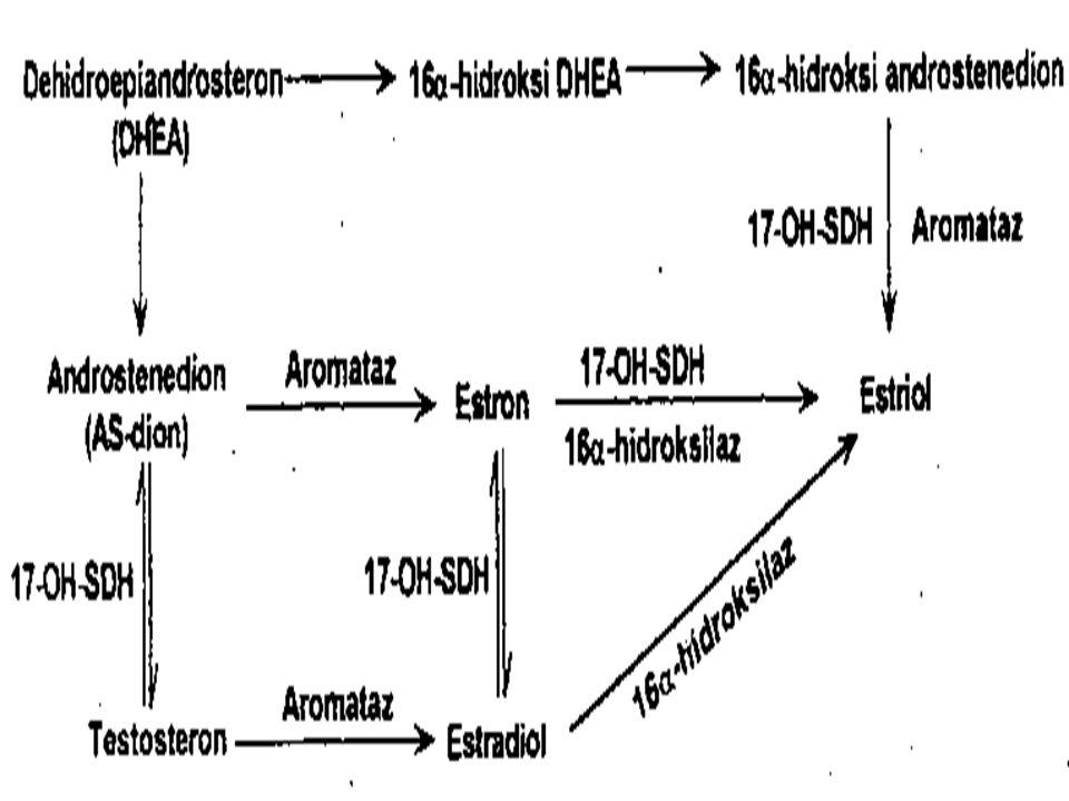 Estrojenler  Doğal estrojenlerin başlıcaları estradiol, estron ve estrioldur.