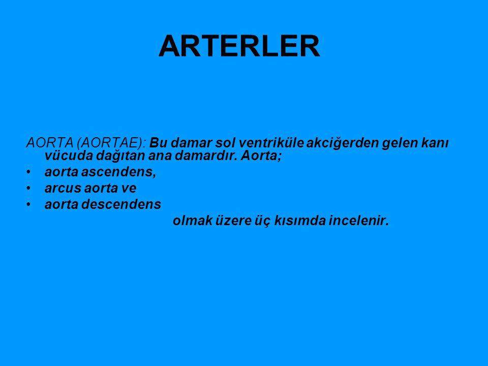 ARTERLER AORTA (AORTAE): Bu damar sol ventriküle akciğerden gelen kanı vücuda dağıtan ana damardır. Aorta; aorta ascendens, arcus aorta ve aorta desce