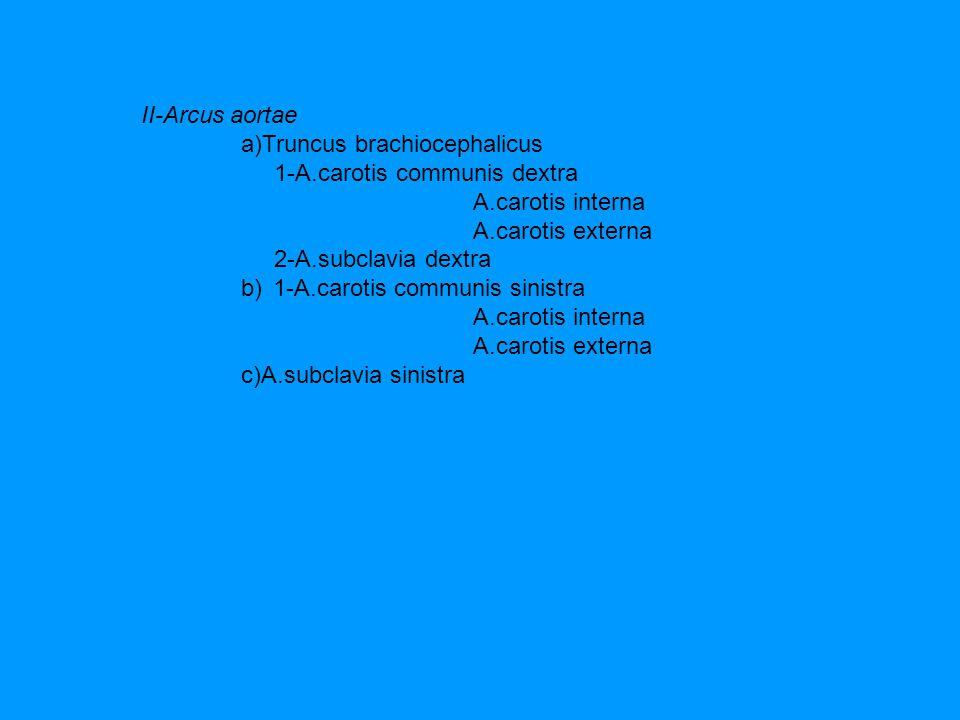 II-Arcus aortae a)Truncus brachiocephalicus 1-A.carotis communis dextra A.carotis interna A.carotis externa 2-A.subclavia dextra b) 1-A.carotis commun