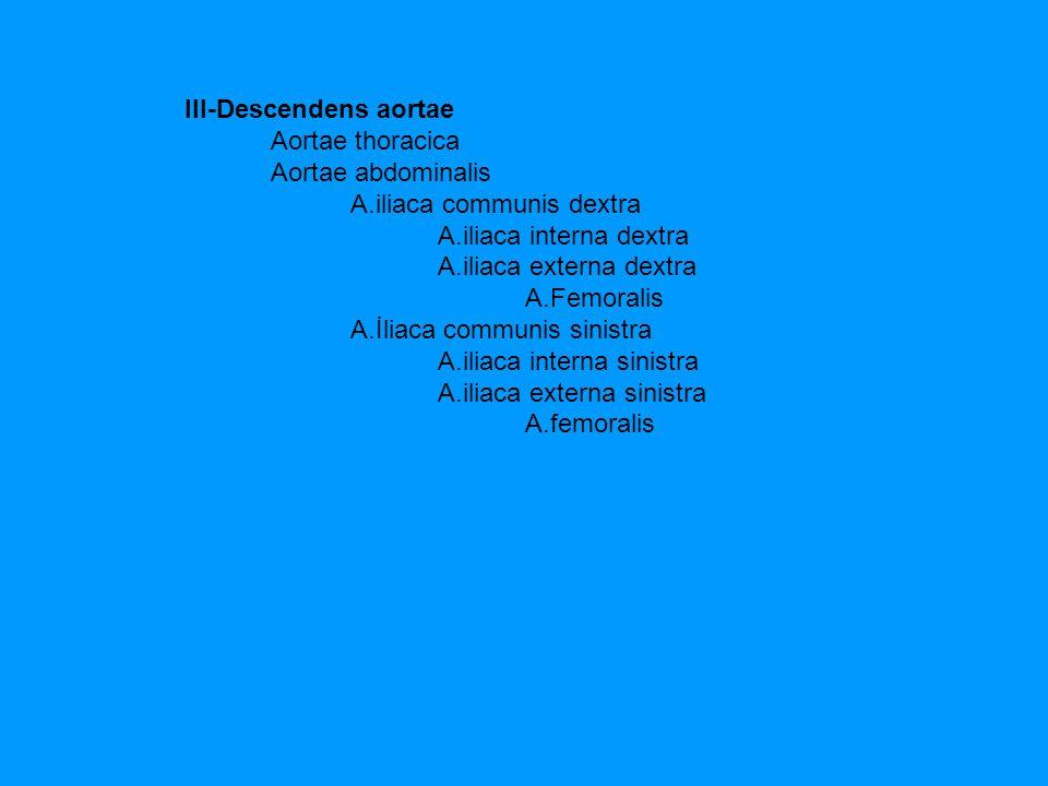 III-Descendens aortae Aortae thoracica Aortae abdominalis A.iliaca communis dextra A.iliaca interna dextra A.iliaca externa dextra A.Femoralis A.İliac