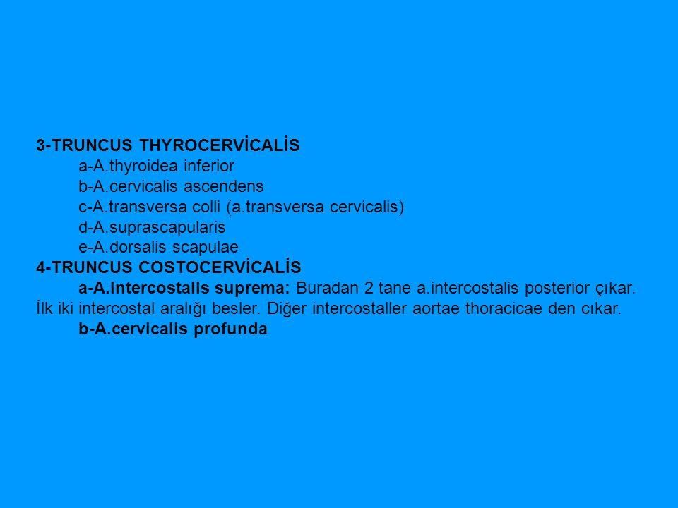 3-TRUNCUS THYROCERVİCALİS a-A.thyroidea inferior b-A.cervicalis ascendens c-A.transversa colli (a.transversa cervicalis) d-A.suprascapularis e-A.dorsa