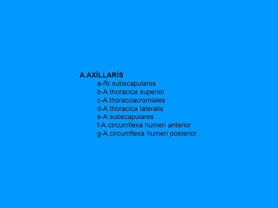 A.AXİLLARİS a-Rr.subscapulares b-A.thoracica superior c-A.thoracoacromiales d-A.thoracica lateralis e-A.subscapulares f-A.circumflexa humeri anterior