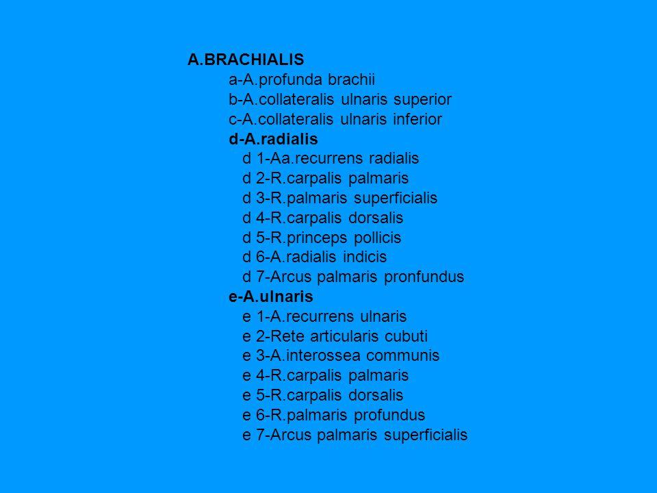 A.BRACHIALIS a-A.profunda brachii b-A.collateralis ulnaris superior c-A.collateralis ulnaris inferior d-A.radialis d 1-Aa.recurrens radialis d 2-R.car