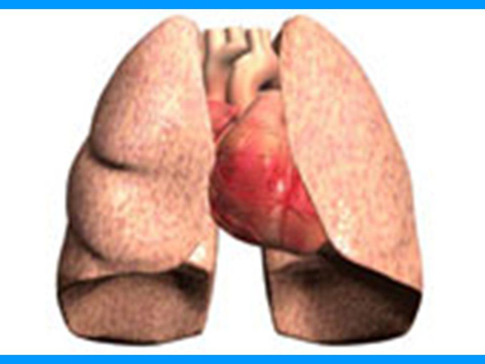 I-Ascendens aortae: Aortae'nin İlk kısmına aortae ascendens denir.