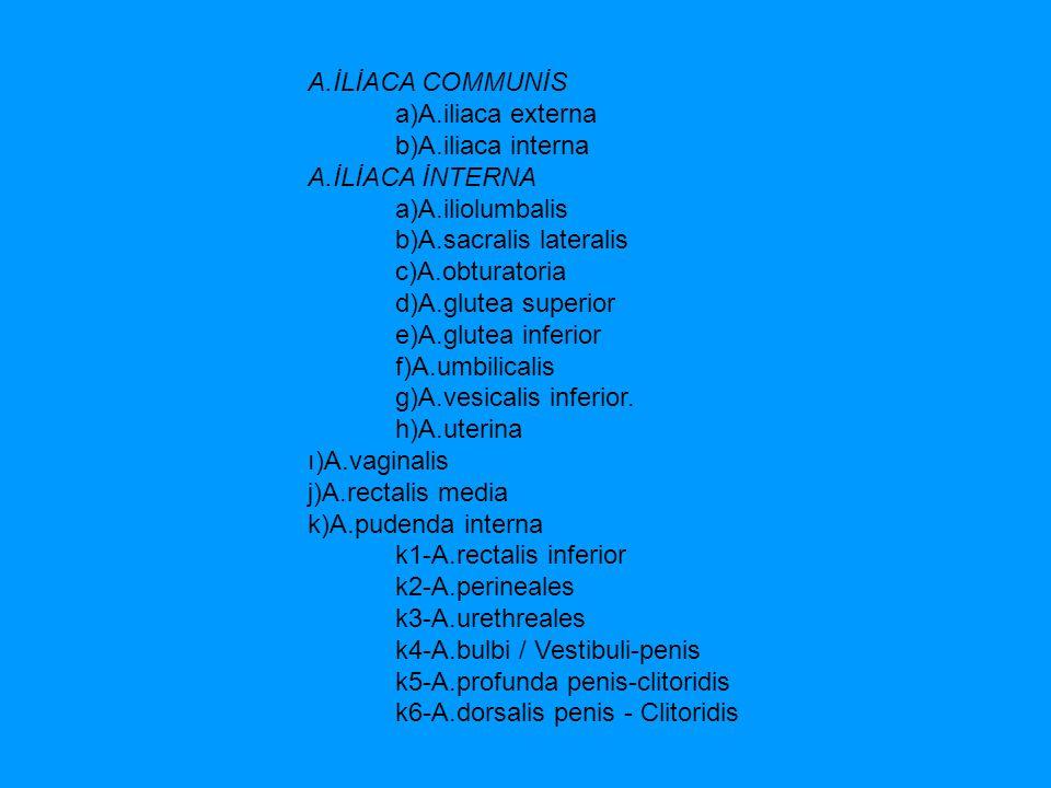 A.İLİACA COMMUNİS a)A.iliaca externa b)A.iliaca interna A.İLİACA İNTERNA a)A.iliolumbalis b)A.sacralis lateralis c)A.obturatoria d)A.glutea superior e