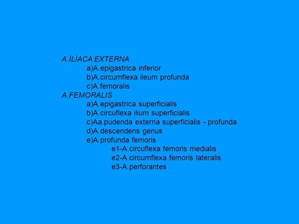 A.İLİACA EXTERNA a)A.epigastrica inferior b)A.circumflexa ileum profunda c)A.femoralis A.FEMORALIS a)A.epigastrica superficialis b)A.circuflexa ilium