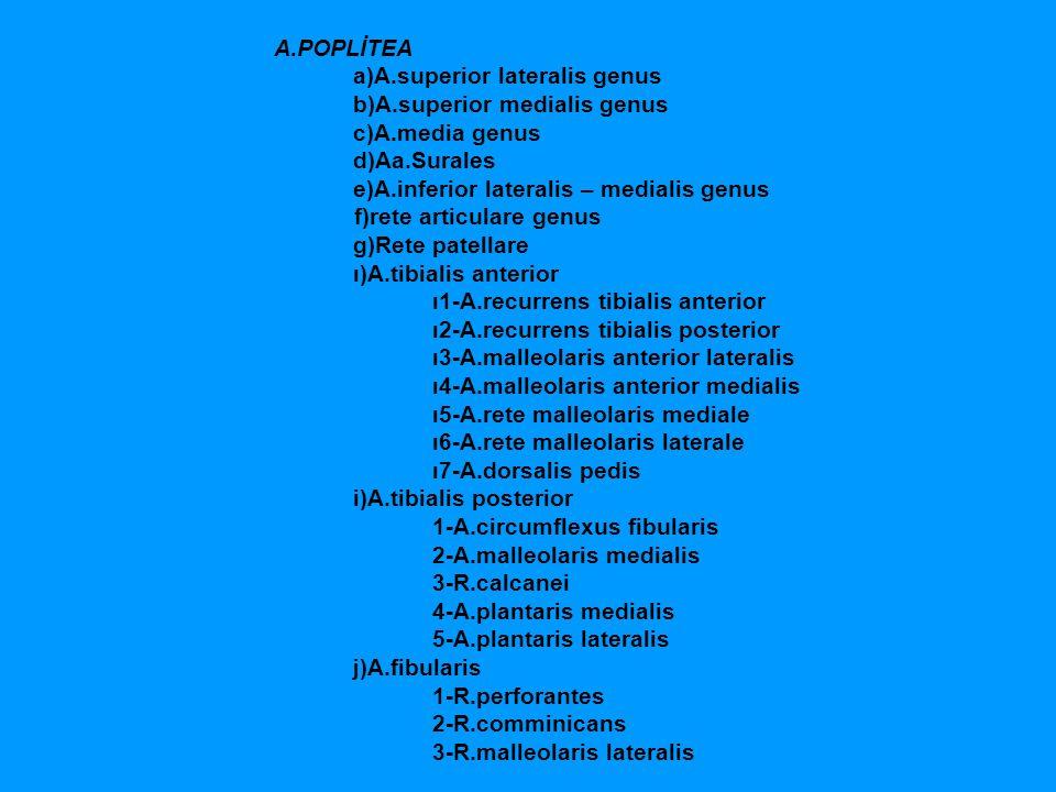 A.POPLİTEA a)A.superior lateralis genus b)A.superior medialis genus c)A.media genus d)Aa.Surales e)A.inferior lateralis – medialis genus f)rete articu
