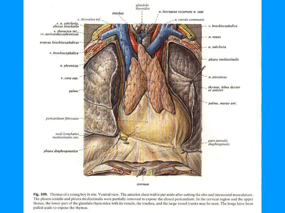 ATRİUM SİNİSTRUM UN YAPISI Sağ atriumun önden büyük kısmı görülürken sol atriumun sadece auricula sinistra sı gorülür.