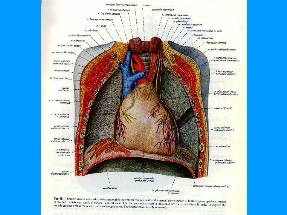 Pericardın beslenmesi Arterleri: a.pericardiophyrenica, a.musculophyrenica, aa.bronchiales, aa.oesophageales, a.phyrenica superior.