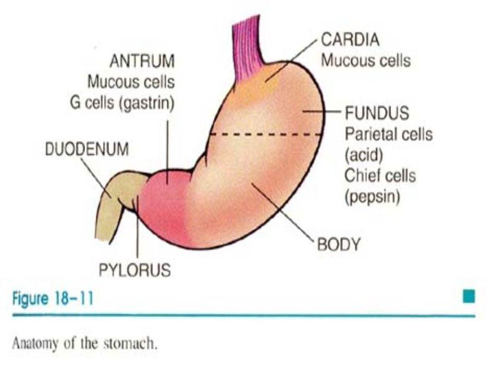 Histolojik olarak; 1)Yüzey epiteli 2)Kardiyak ve antral glandlar 3) Oksintik glandlar; Çukurcuk kısmı dardır, glandüler kompartmanı çoktur.